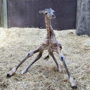 newborngiraffe