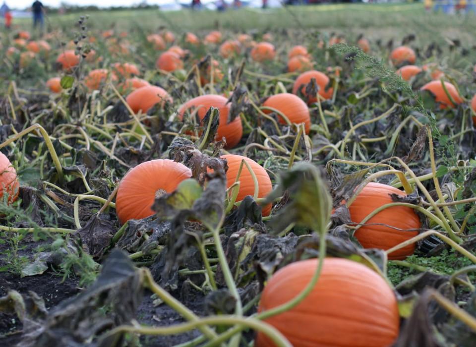 wynnorr-farm-pumpkin-patch