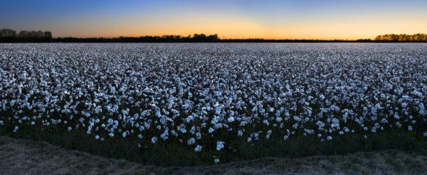 Cotton- The Soft, Dangerous Beauty of the Past