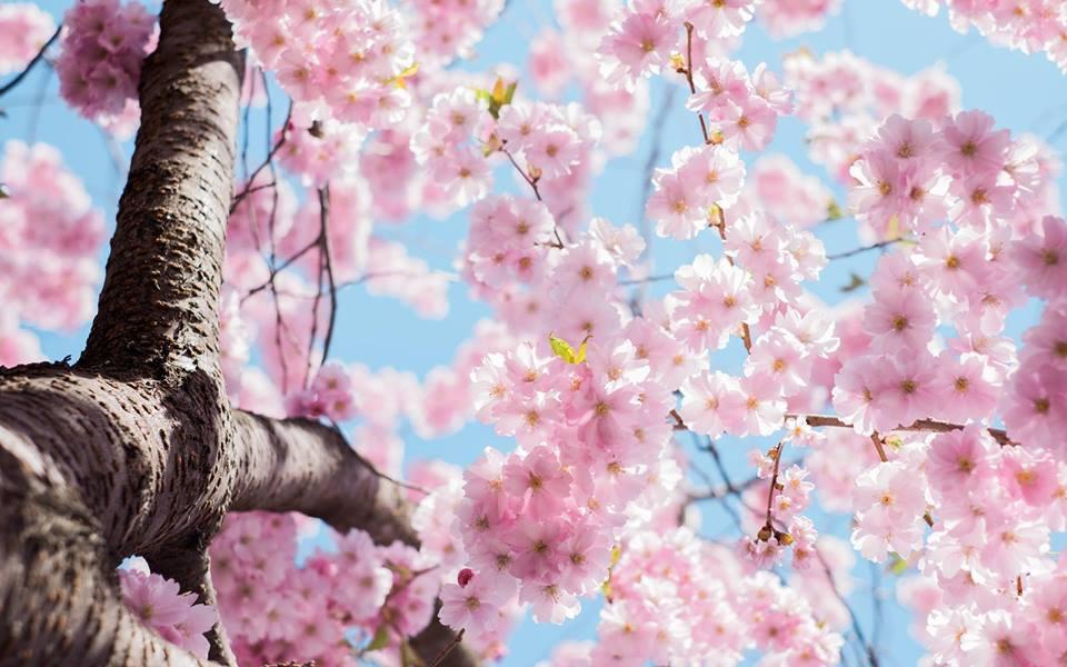 subaru cherry blossom festival 2020