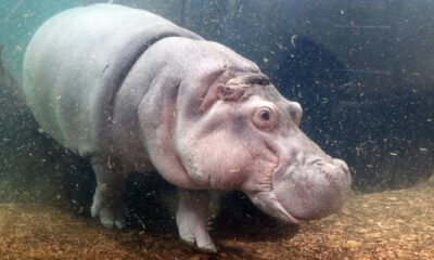 genny the hippo