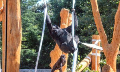 gorilla tree house